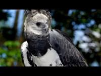 El águila come monos de Venezuela (Mundo Natural)