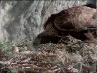 El águila real (El Hombre y la Tierra)