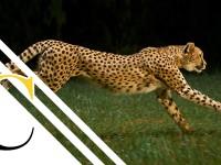 El guepardo (Yo Depredador)