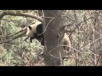 El Panda Gigante