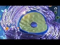 El sistema inmunológico (Factor Ciencia)