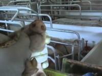 Granjas de Cerdos, un documental de Igualdad Animal