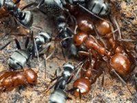 Hormigas asesinas