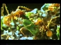 Hormigas (La Guía Máxima)
