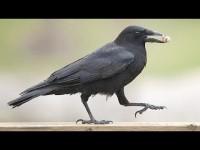 La inteligencia del cuervo