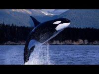 La orca (Yo Depredador)